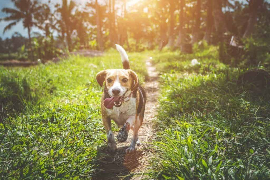 Use essential oils to keep your pets healthy - showing an image of a happy, healthy dog running.