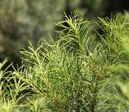 Tea Tree Plant Leaves