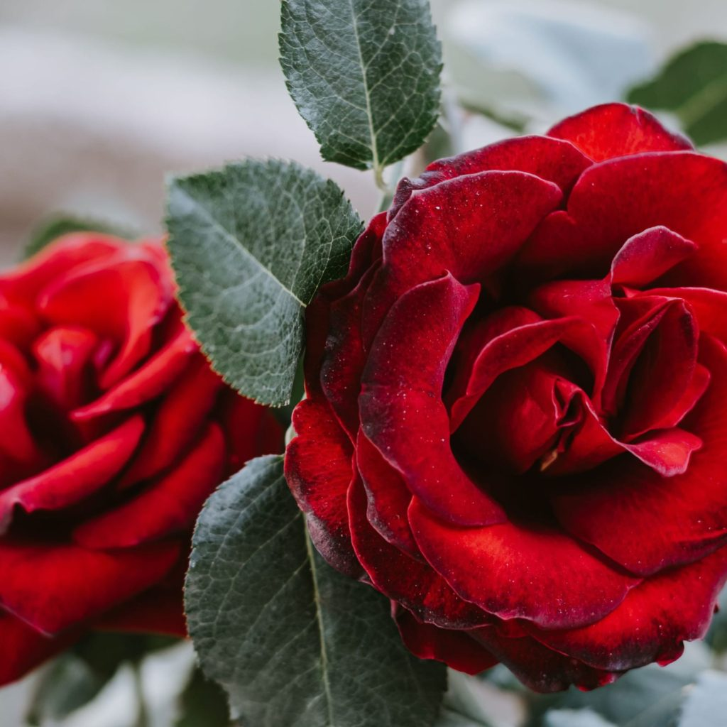 Damask Rose - the source for Rose Essential Oil
