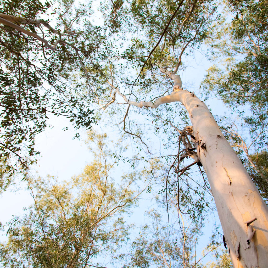 Eucalyptus Trees are grown all over the world for essential oil.