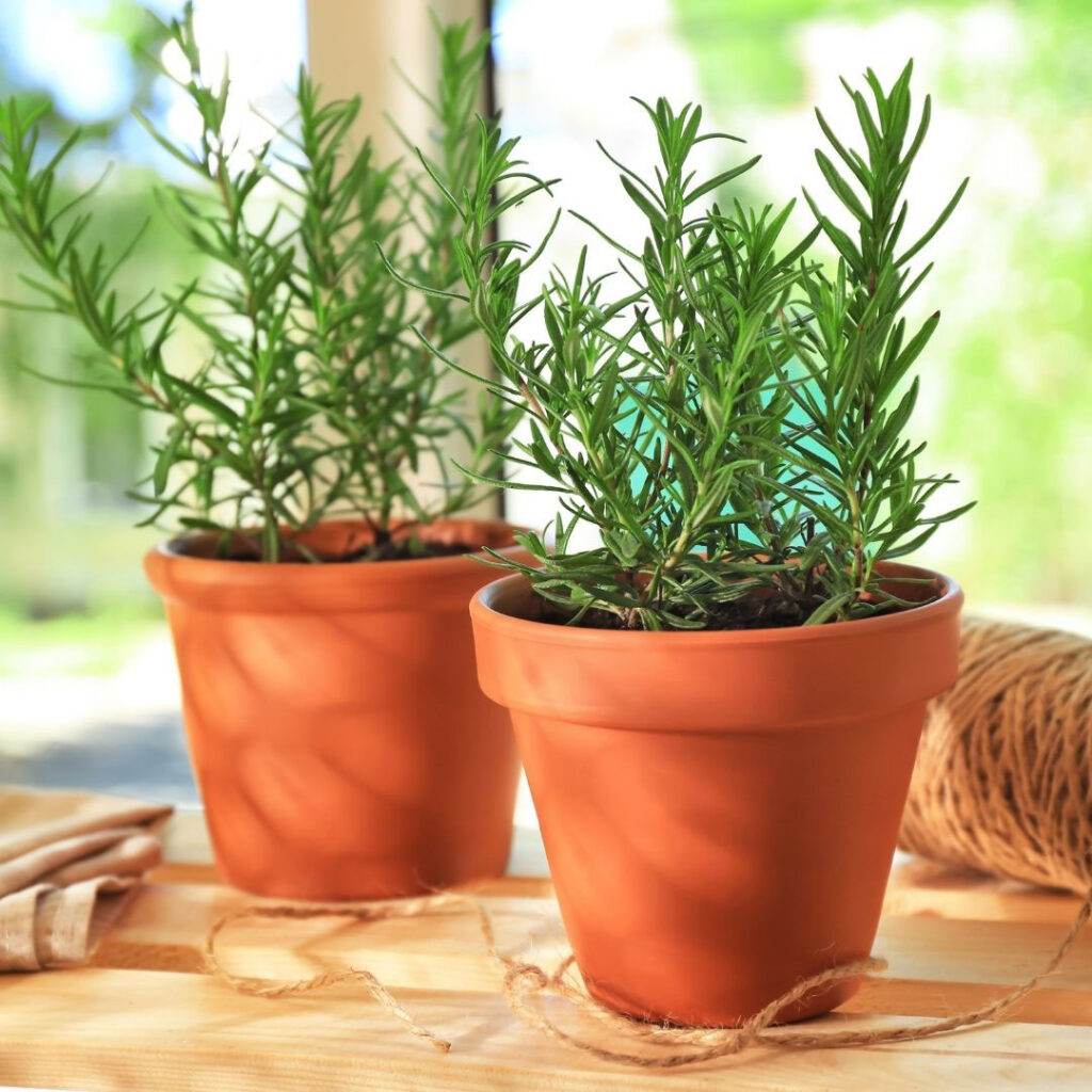Rosemary in pots on the counter